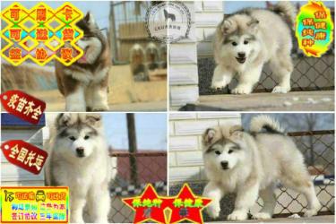 出售血统纯种阿拉斯加幼犬巨型十字脸桃脸阿拉斯加雪橇