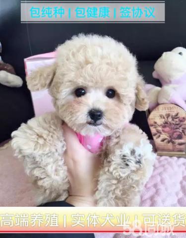 【泰迪幼犬】價格合理、疫苗做好、常年營業、現場可選