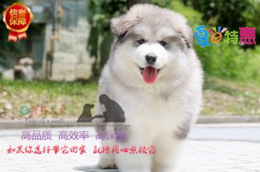 顶级大骨架阿拉斯加幼犬 包纯种保健康 可签合同