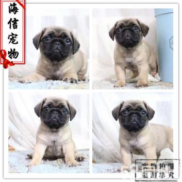 出售纯种巴哥幼犬 巴哥幼犬照片 巴哥幼犬 膺版八哥