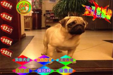 純正巴哥犬出售 體態好骨骼好憨厚可愛純種哈巴狗出售