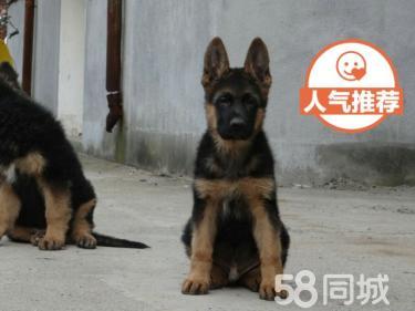 【协议质保】正规德牧养殖场 居家必备良犬 折扣价