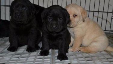 拉布拉多 养殖场直销一金沙官方平台各类宠物一包养活签协