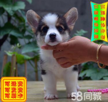 高品質小短腿大電臀純種柯基幼犬出售可送貨 保健康