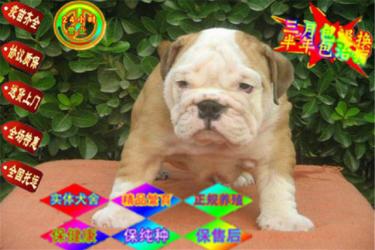 高?#20998;?#33521;斗 法斗幼犬 签订售后协议 保证狗狗纯种