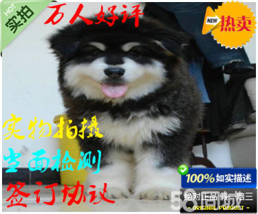 出售阿拉斯加幼犬品質好健康保疫苗齊歡迎上門