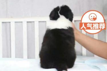 纯种边境牧羊犬是很可爱 小狗式黑白相间 七白都通