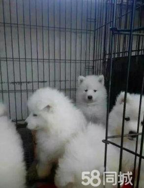 【官方质保】白富美的最佳搭档,可爱迷人的萨摩耶幼犬