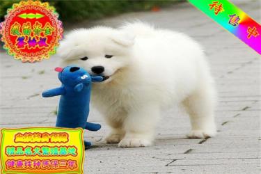 出售纯种忠诚天使微笑萨摩耶幼犬 包健康 可签协议