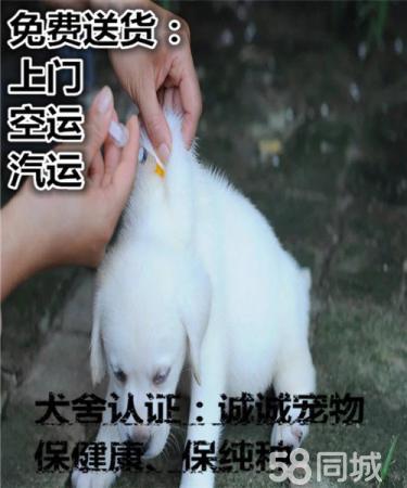 20年专业繁殖拉布拉多犬,血统?#31354;?#31614;协议包养活