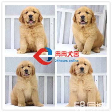 精品金毛幼犬 专业犬舍 多窝可选 自家繁殖