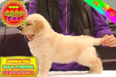 包纯种包健康品质大头金毛犬宠物狗