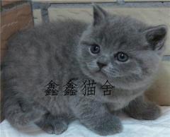 包子臉大頭藍貓幼貓出售疫苗驅蟲齊全