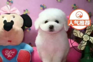 【�f�h�|保】毛色佳品相好比熊 ��N卷毛雪白比熊幼犬