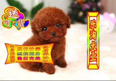 ��N泰迪熊【保��N、保健康、��f�h】可看狗父母