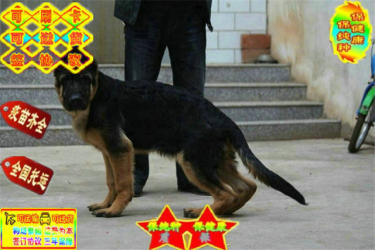 純種德國牧羊犬幼犬黑背弓背彎腿血統純種包健康