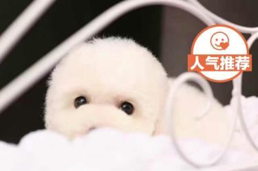 棉花糖比熊犬、大毛量賽級精品血統、健康包活