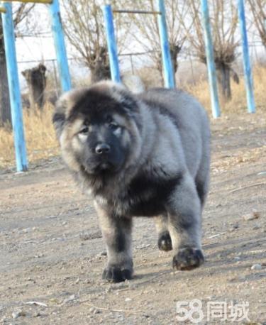 出售��N健康熊版巨型高加索犬 打完疫苗信�u