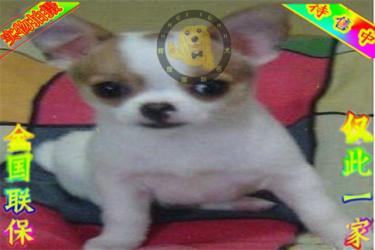 出售纯种苹果头吉娃娃犬 金鱼眼吉娃娃犬健康好纯度佳