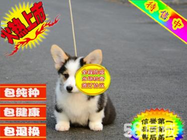 犬舍繁殖双色三色柯基犬丨电臂短腿女士最爱萌宝