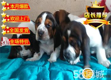 巴吉度幼犬、自家繁殖?#20998;?#20445;障完美售后可上门