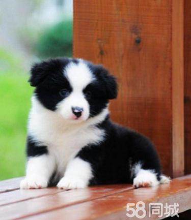 爱Ta,就送Ta心爱的狗狗~边牧。