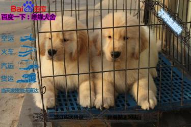 可以開視頻看犬舍金毛種犬 幼犬雙血統包健康