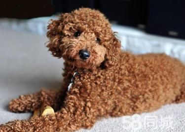 愛她就送她心愛的狗狗泰迪