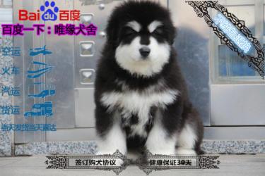 帶血統證書純種雙血統阿拉斯加幼犬代售 可視頻挑選
