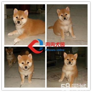 纯种日本柴犬找新家了 拥有很好的品质,让您爱不释手