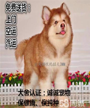纯?#32844;?#25289;斯加幼犬 大骨量雪橇犬 多色可选