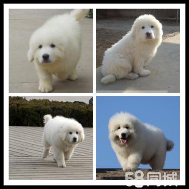 纯种微笑天使大白熊幼犬,雪白无水锈,骨骼粗毛量足