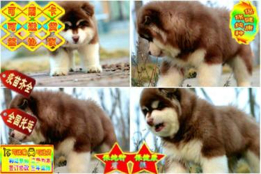 出售大骨量巨型熊版阿拉斯加幼犬、�ёC��、包��N