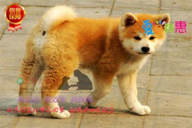 日美系秋田犬 忠犬八公 当场做检查 免费送货上门
