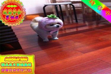 CKU犬舍 精品哈多利博美幼犬 签署购犬协议