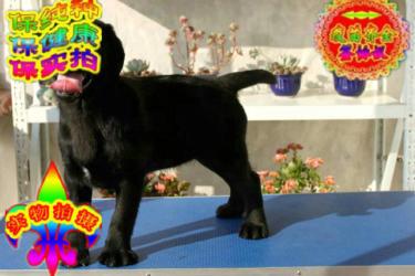 专业繁殖一高品质拉布拉多犬一保纯保健康一送用品