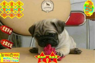 纯种巴哥幼犬、纯正血统、证书齐全、纯种健康质量保障