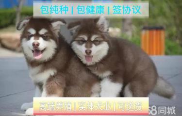 犬舍繁殖纯种阿拉斯加幼犬丨可上门签协议包纯种