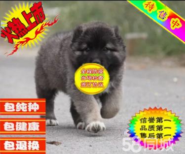超级巨型猛犬高加索幼犬骨架大健康签协议质保
