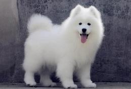 纯种黄金血统顶级萨摩耶幼犬 疫苗齐全 包纯种