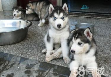 〖官方质保〗中国最大实体狗场出售各种世界名犬包养活