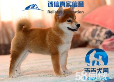 純正日系柴犬,日本引進種犬繁殖,包純種健康