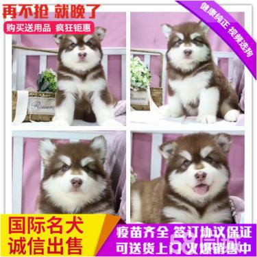 出售頂級品質 阿拉斯加雪橇犬 賽級血統 健康保障
