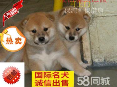 纯种柴犬-成年犬出售-柴犬配种-江浙沪支持送货上门