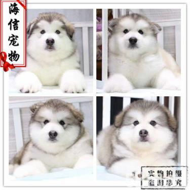 阿拉斯加狗狗出售了,活��可�鄣陌⒗�斯加,骨架大哦