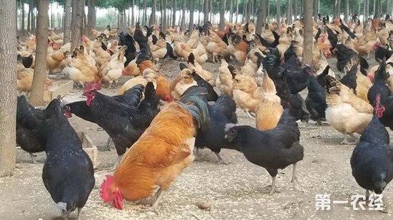 富硒鸡养殖开创特色兴业致富路