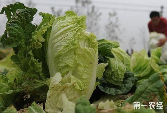 如何防止大白菜烂心