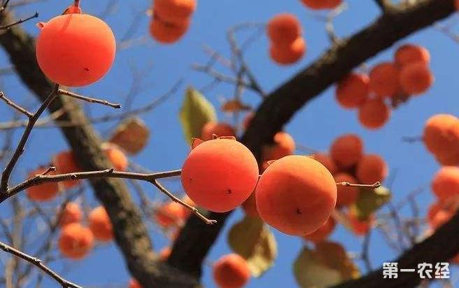 柿子树落叶的原因以及防治方法