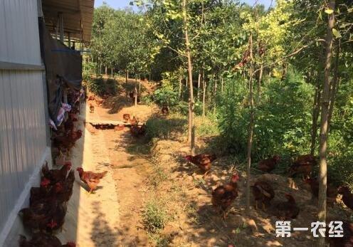 养鸡该怎么选择品种