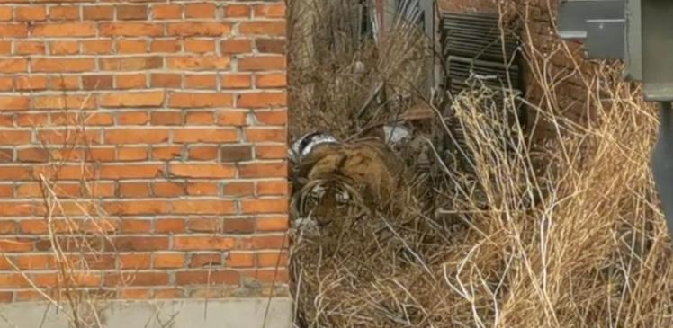 惊心动魄!进村的东北虎被控制住了